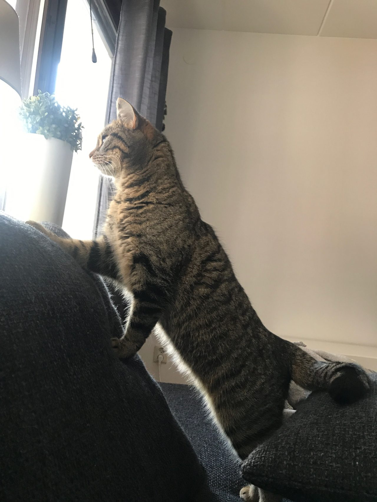 Domestic Cat Standing On Couch Looking Out Of Window