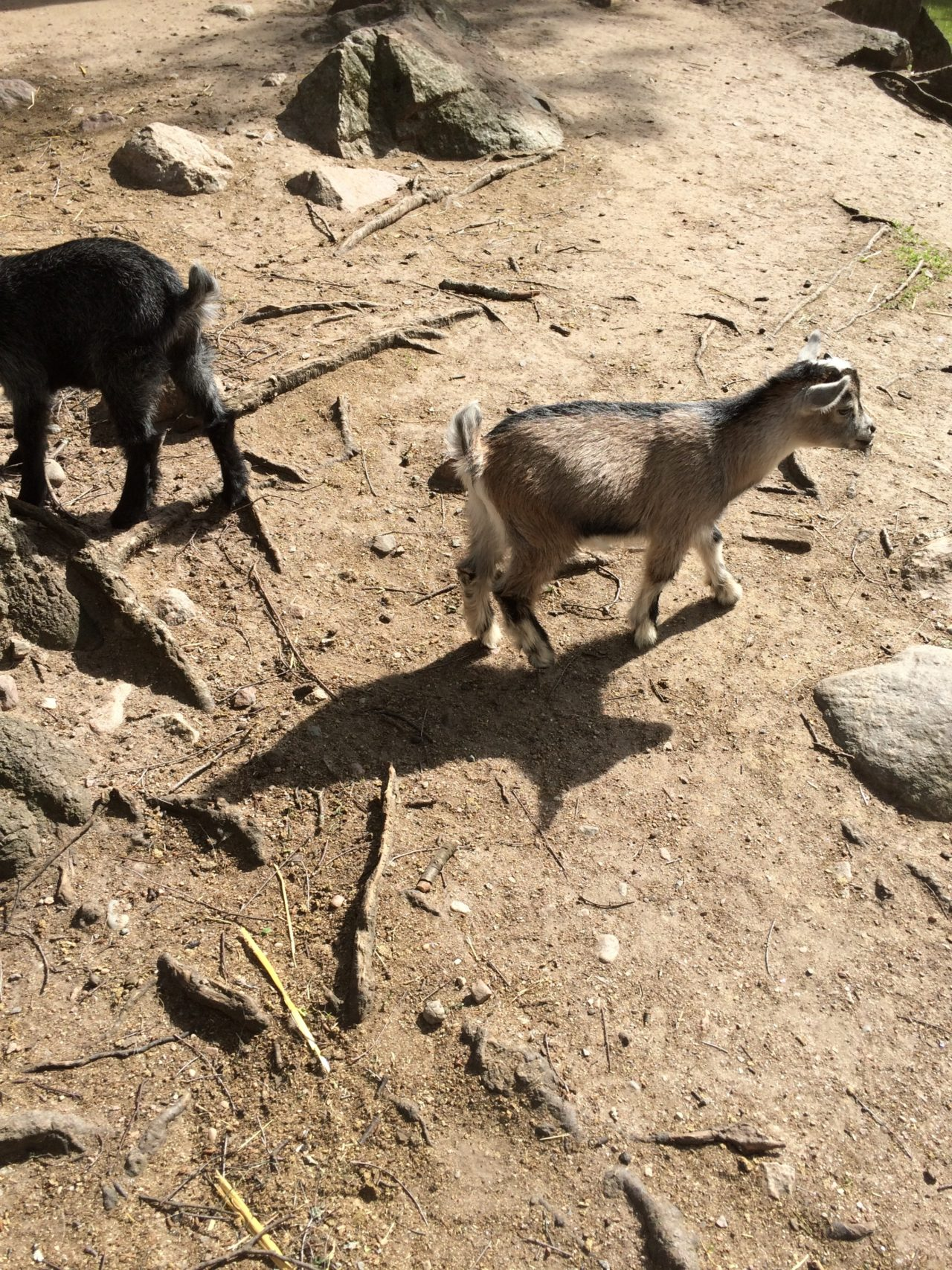 Goats At A Zoo In Scandinavia On A Sunny Summer Day