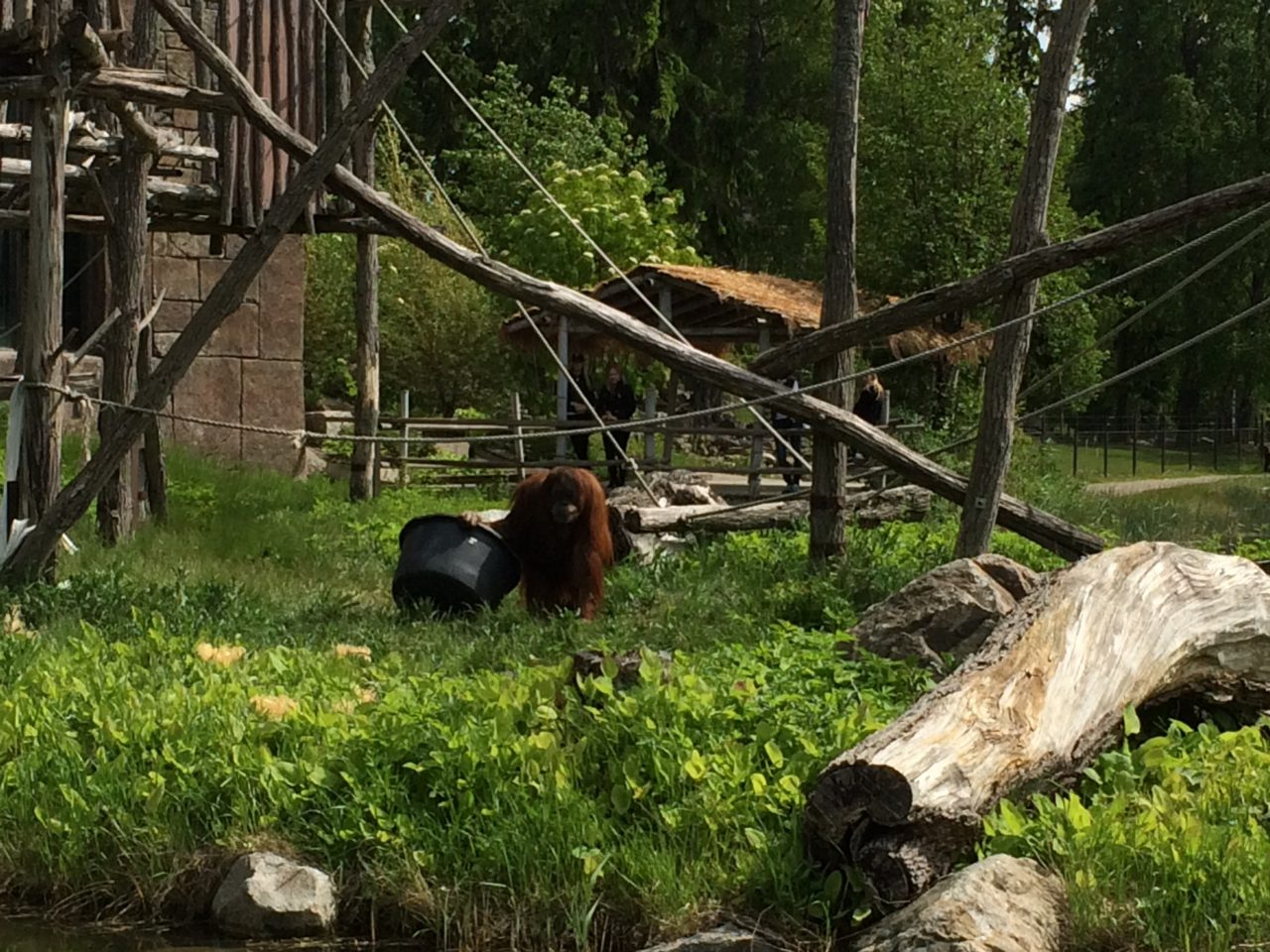 Orangutan In A Zoo In Sweden In The Summer Outdoors In The Green