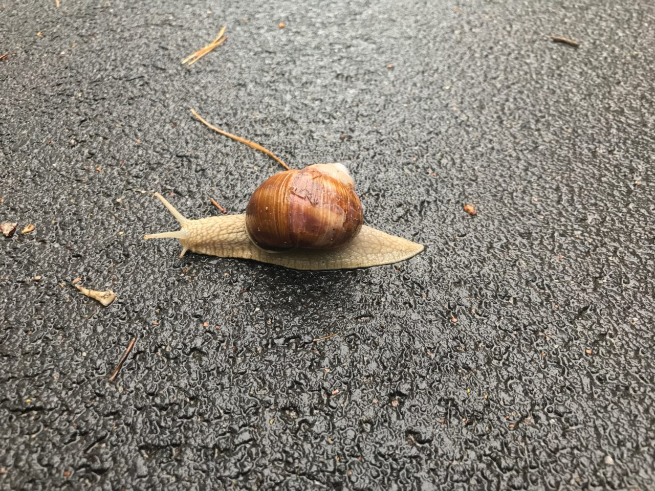 Snail On A Wet Asphalt Road With Conifers Around