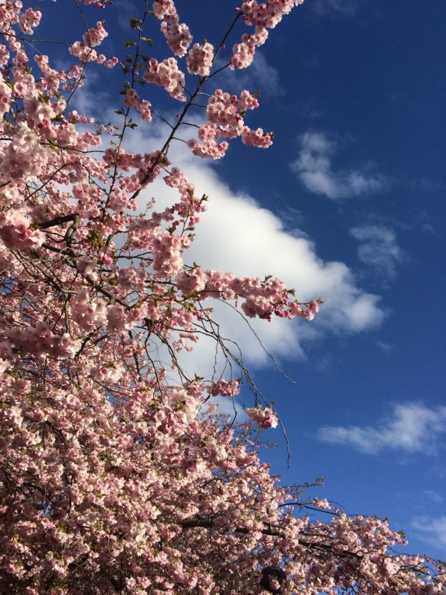 Blooming Trees With Blue Sky And Fluffy White Clouds In The Background