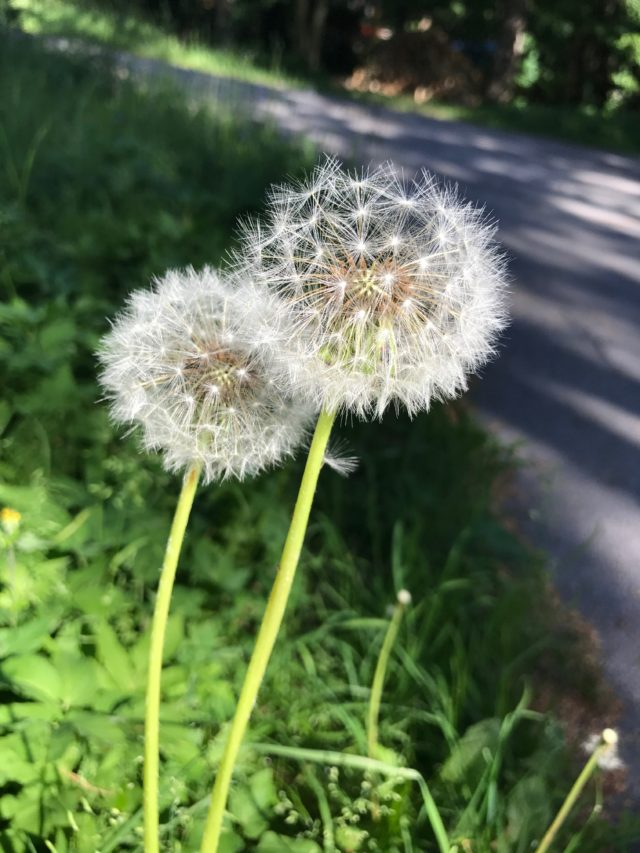Dandelions In The Grass By A Road