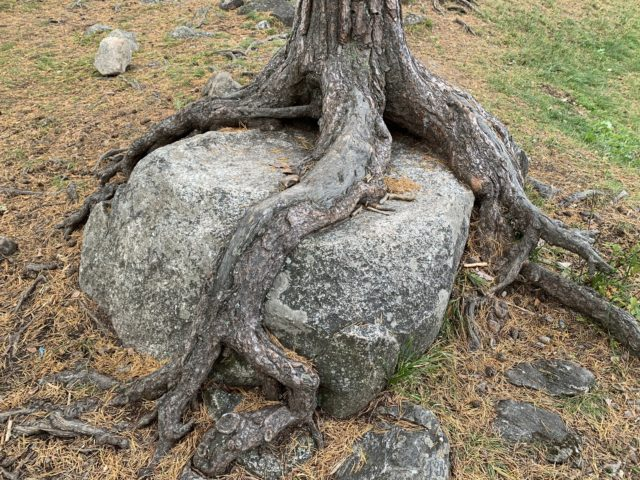 Twisted Tree Roots Around A Big Rock