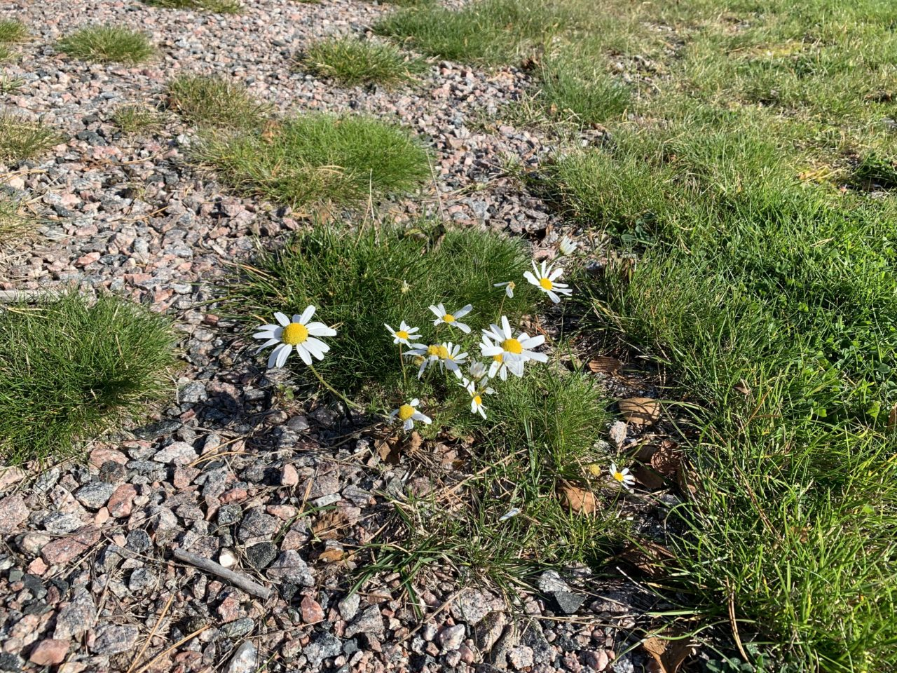 White And Yellow Daisy Flowers In Grass And Gravel